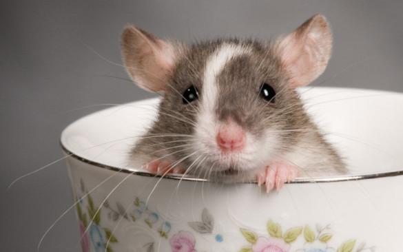 Стоит ли заводить дома крысу?. 394723.jpeg