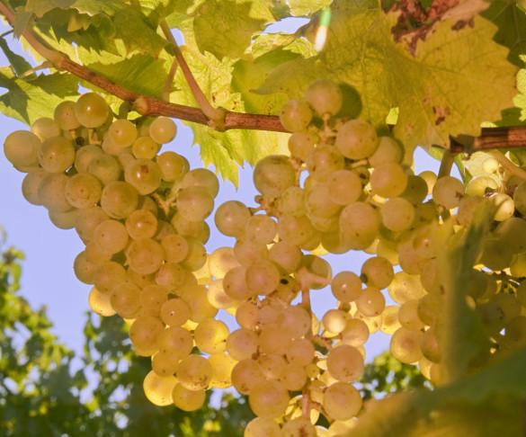 Крымским винам добавят градуса. Крымским винам добавят градуса