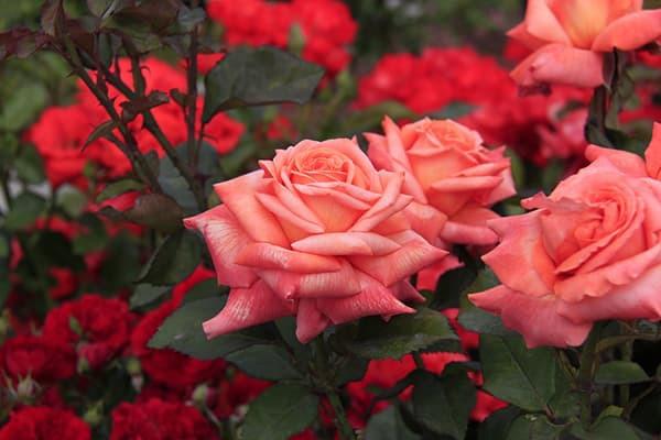 Розы и их лучшие сорта для создания цветника. 403729.jpeg
