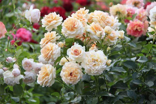 Розы и их лучшие сорта для создания цветника. 403730.jpeg