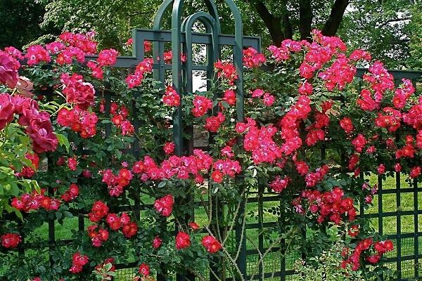 Розы и их лучшие сорта для создания цветника. 403731.jpeg