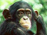В Англии из зоопарка сбежали 30 шимпанзе