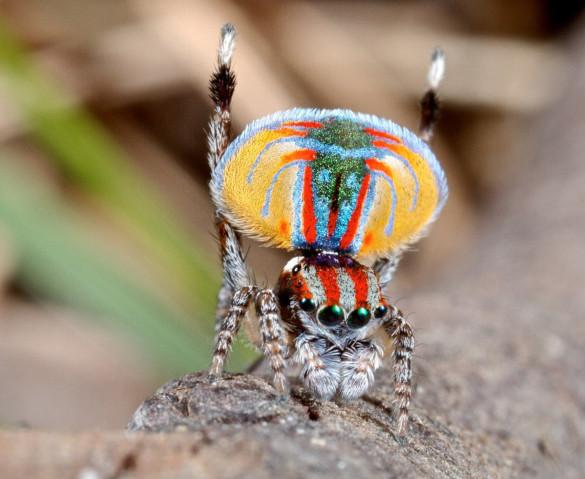 Уникальный паук-павлин. 394739.jpeg