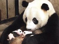Китайская панда устала от материнских забот