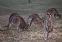 Власти Австралийской столицы решили отстреливать кенгуру