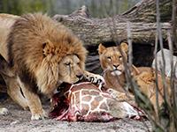 Датчане могут казнить еще одного жирафа-самца. 288758.jpeg
