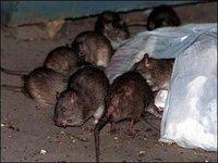 Тегеран бросил снайперов на борьбу с крысами-мутантами. 281760.jpeg