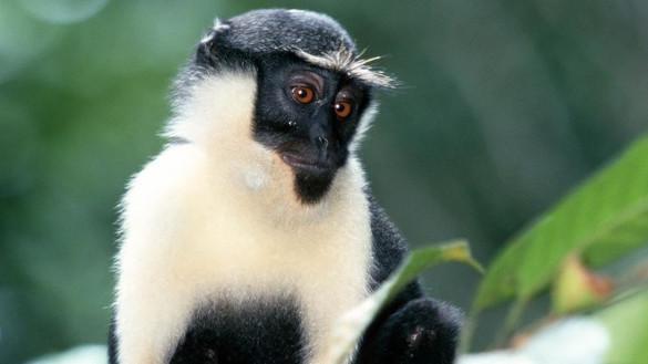 В Московском зоопарке у редкой породы мартышки родился детеныш. 394760.jpeg