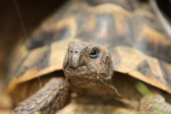 Обнаружена причина, почему самая старая черепаха в мире не имеет потомства. 377766.jpeg