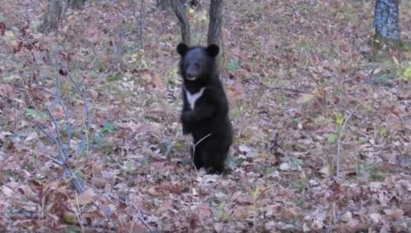 Потерявших маму гималайских медвежат откормили и выпустили на волю. Видео. 394767.jpeg