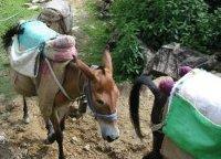 В Перу задержан караван мулов с мешками кокаина