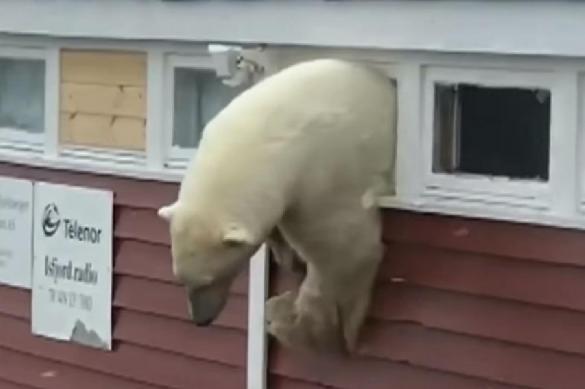 New York Times: Архангельская область переживает нашествие белых медведей. 398769.jpeg
