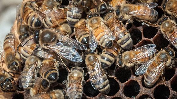 Ученые: На Земле могут вымереть все пчелы. 304772.jpeg