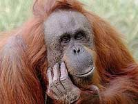 Свистящий орангутан дает концерты за орехи
