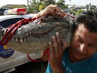 По затопленному Бангкоку разгуливают крокодилы. 247777.jpeg