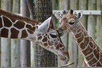Что скрывают убийцы жирафа Мариуса. 288778.jpeg