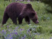На Камчатке медведь чуть не растерзал туристку. 241780.jpeg