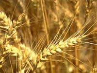 Египет вернул России 52 тонны пшеницы