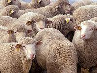 Падающие с неба овцы привели к авариям на канадской дороге. 259791.jpeg