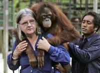 Зоопарк раздаст орангутангам планшетники. обезьяна