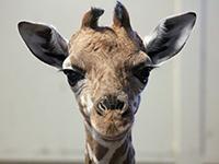 Что скрывают убийцы жирафа Мариуса. Что скрывают убийцы жирафа Мариуса