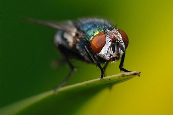 Личинки мясных мух могут стать источником мощного антибиотика