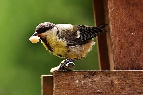 Англичане раскормили птиц до неимоверно больших клювов. Англичане раскормили птиц до неимоверно больших клювов