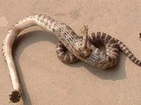 Китайская пенсионерка убила уникальную одноногую змею