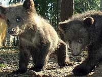 Россия подарит Швейцарии двух медвежат в честь первого визита