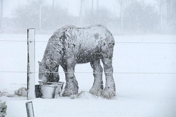 Якуты массово забивают лошадей из-за сильного снегопада