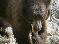 Медвежонок сорвал школьный выпускной в Калифорнии. 259810.jpeg