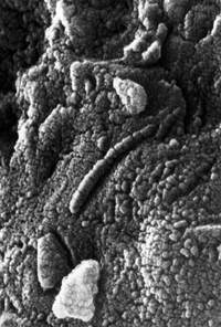 Останки бактерий на поверхности метеорита ALH 84001