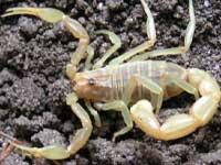 Россельхознадзор не пустил в Россию украинских скорпионов и