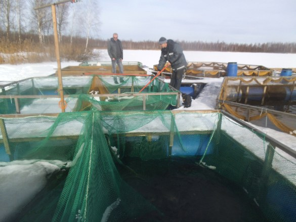 В Ярославской области разводят сиговых рыб