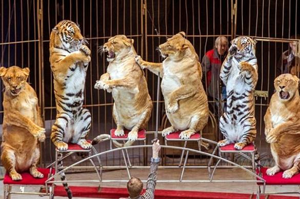Толстушки на арене: упитанные цирковые львицы обескуражили публику. Видео. Толстушки на арене: упитанные цирковые львицы обескуражили публи