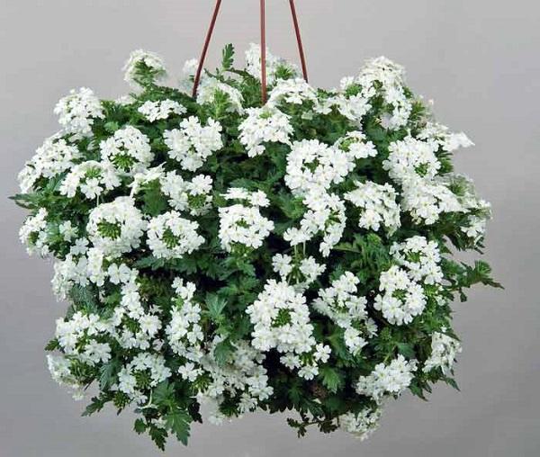 Лучшие растения для подвесных горшков. 403823.jpeg