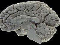 Возможности человеческого мозга исчерпаны - ученые. 242828.jpeg