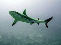 Акула откусила руки туристу на пляже в Приморье. 243830.jpeg