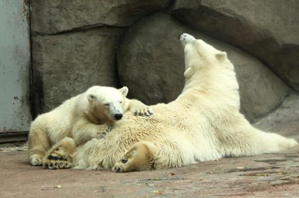 В прибалтийском зоопарке усыпили русского медведя. 396830.jpeg