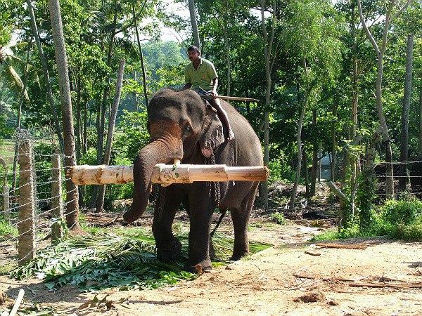 """В Таиланде слониху обвинили в убийстве фермера и попытке """"замести следы"""". В Таиланде слониху обвинили в убийстве фермера и попытке замест"""
