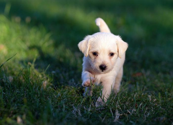 Собаки способны ориентироваться по магнитному полю Земли. Щенок