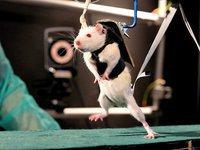 Медики научили ходить парализованных крыс. 259836.jpeg