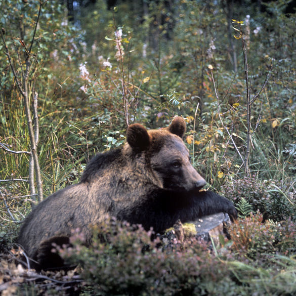 Медведям Подмосковья не нравится бабье лето. 393836.jpeg