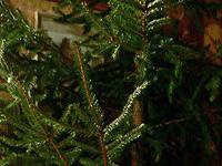 Новогодние елки угрожают россиянам энцефалитом