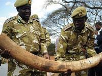 Контрабандисты везли тонну слоновой кости из Кении в Таиланд