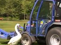 Немецкому лебедю помогли разлюбить трактор. 243842.jpeg