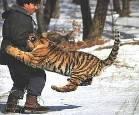 В Приморье тигры пошли к людям
