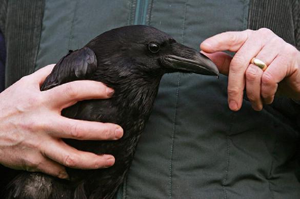 Ученые: вороны могут запоминать абстрактную информацию. 388843.jpeg