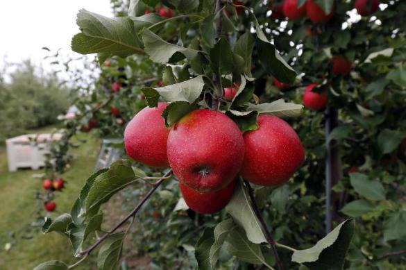 Как привить яблоню. 401843.jpeg