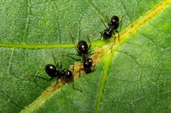 Как защитить плодовые культуры от муравьев. 396844.jpeg